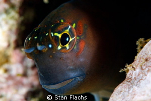 Blenny by Stan Flachs 